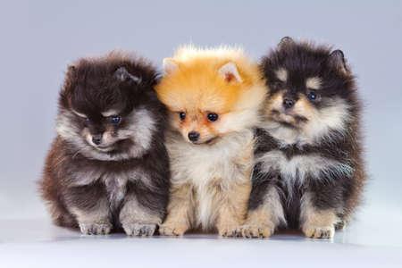 Three fluffy Pomeranian puppies on a gray background