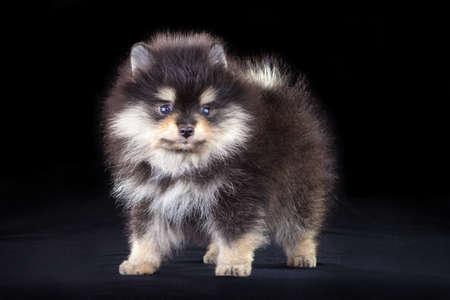 Little fluffy Pomeranian puppy on a black background photo