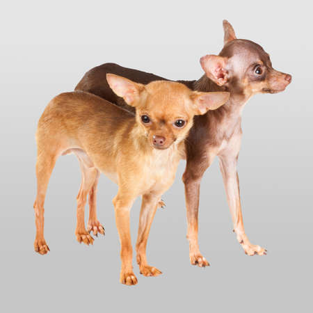 Two Russian toy terrier isolated on a white background Stock Photo - 10447751