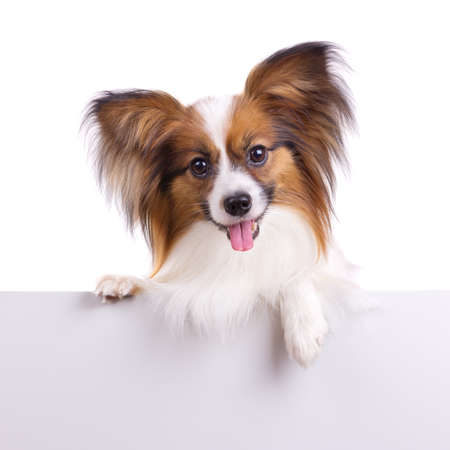 Puppy of breed papillon on a white background Stock Photo