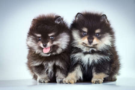 Two little fluffy Pomeranian puppies on a gray background  Stock Photo
