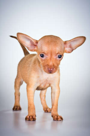 moscovian: Puppy Russian toy terrier on a light gray background
