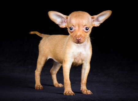 moscovian: Puppies Russian toy terrier on a black background