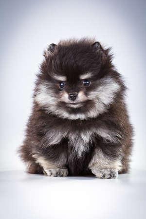 Little fluffy Pomeranian puppy on a gray background  photo