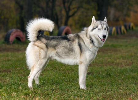 Portrait of a Siberian Husky dog outdoors 免版税图像