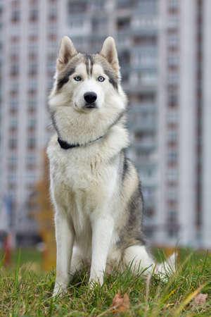 Portrait of a Siberian Husky dog outdoors photo