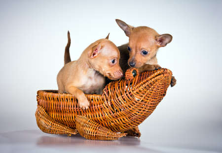 moscovian: Puppies Russian toy terrier on a light gray background