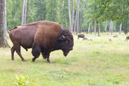 Bison in the wild outdoors 免版税图像