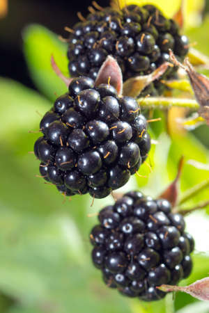 brambleberry: Close-up of ripe blackberries bunch Stock Photo