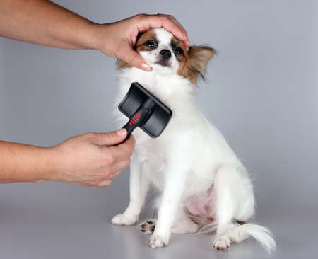 brushed: Papillon puppy getting his hair cut at the groomer