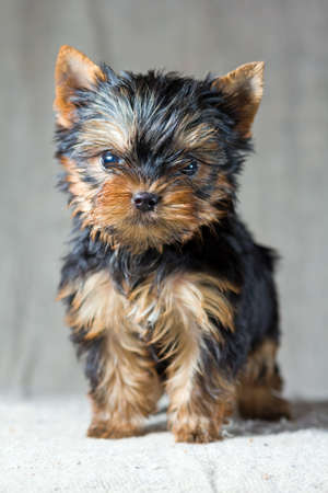 Retrato peque�o cachorro de Yorkshire Terrier photo
