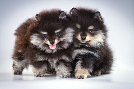 Two little fluffy Pomeranian puppies on a gray background  photo