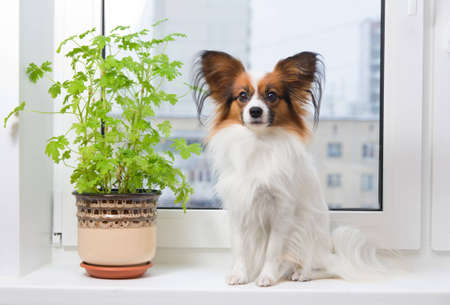 houseplant: Papillon dog sitting on a plastic windowsill Stock Photo