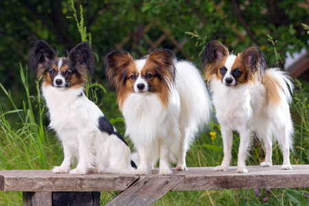 Three dog breeds Papillon sitting on the bench Stock Photo