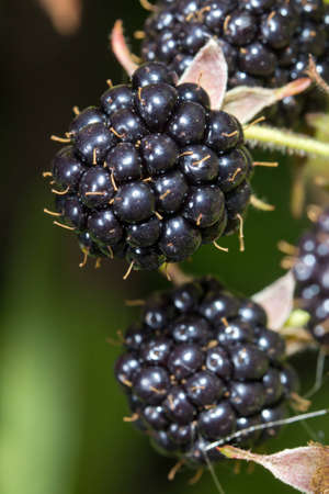 brambleberry: Primer plano de moras maduras mont�n