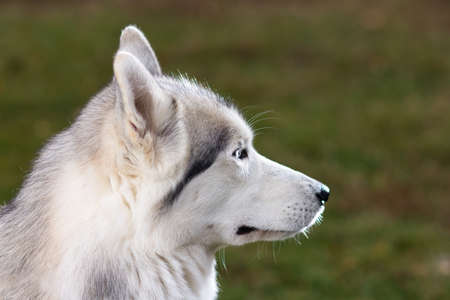 Portrait of a Siberian Husky dog outdoors photo