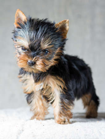 yorky: Portrait Small Yorkshire Terrier Puppy