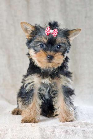 yorky: Retrato peque�o cachorro de Yorkshire Terrier Foto de archivo