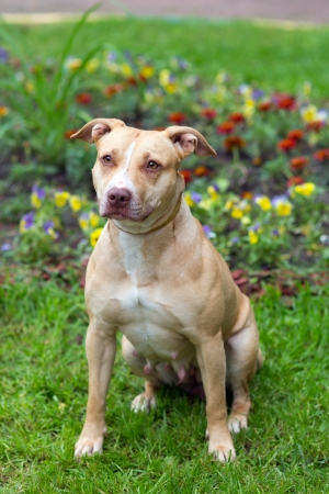 Outdoor Portrait sitting American Pit Bull Terrier