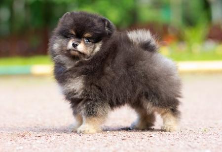 Portrait of a little fluffy Pomeranian puppy