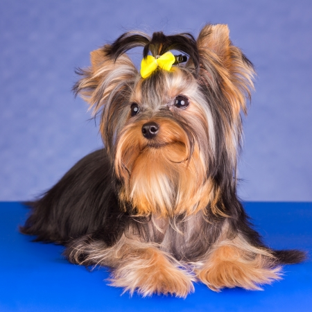 Young Yorkshire Terrier sobre fondo azul photo