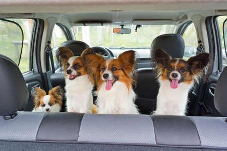 carritos de juguete: Cuatro perros de raza Papillon dentro de un auto