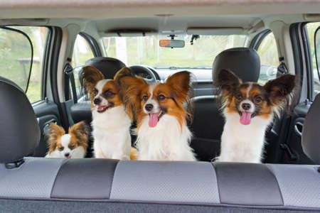 Four dogs of breed Papillon inside a car Stock Photo