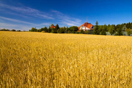 vibrant cottage: Field of golden wheat under blue sky