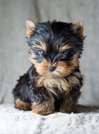cute dog: Portrait Small Yorkshire Terrier Puppy