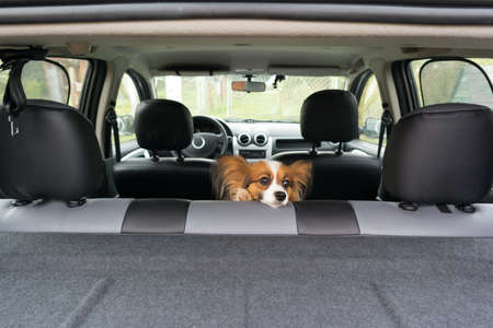 dogs of breed Papillon inside a car