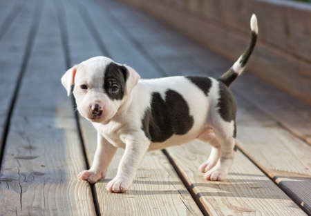amstaff: American Staffordshire terrier puppy on wooden boards Stock Photo