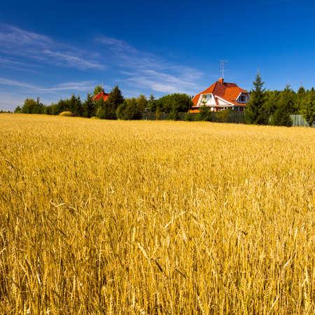 grain fields: Field of golden wheat under blue sky