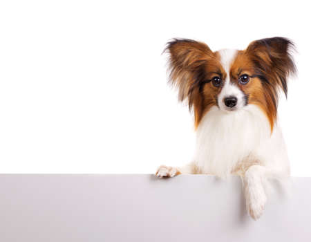 Dog of breed papillon isolated on a white background Stok Fotoğraf