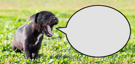 place for the text: American Staffordshire terrier puppy with speech bubble