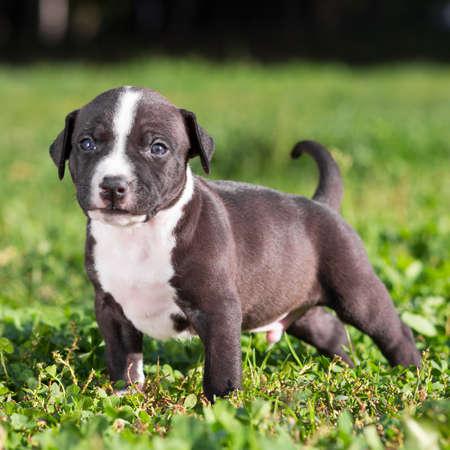 amstaff: American Staffordshire Terrier Puppy