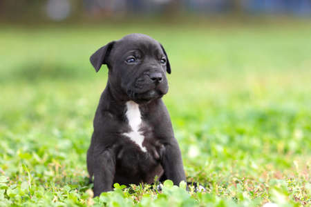 american staffordshire terrier: American Staffordshire terrier puppy sitting on grass Stock Photo