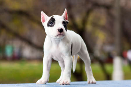 amstaff: American Staffordshire terrier puppy standing on outdoor Stock Photo