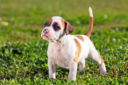 amstaff: American Staffordshire terrier puppy standing on grass Stock Photo