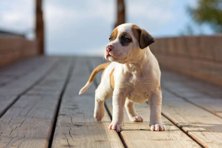 staffordshire: American Staffordshire terrier puppy on wooden boards Stock Photo