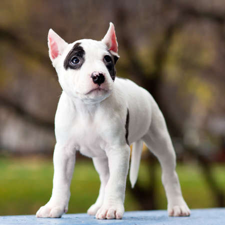 American Staffordshire terrier puppy standing on outdoor photo