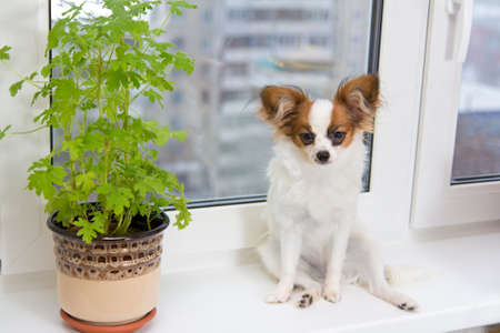 houseplant: Papillon puppy sitting on a plastic windowsill Stock Photo