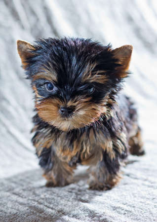 yorky: Retrato Peque�o Cachorro Yorkshire Terrier