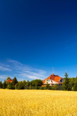 Field of golden wheat under blue sky photo