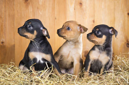 russkiy: Three Russian Toy Terrier puppies  on a straw on a background of wooden boards