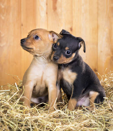 russkiy: Two Russian Toy Terrier puppies  on a straw on a background of wooden boards