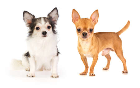 long-haired and short-haired chihuahua on white background photo