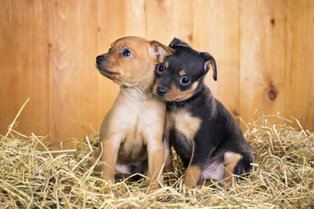 moscovian: Two Russian Toy Terrier puppies  on a straw on a background of wooden boards