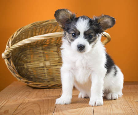 Papillon Puppy sitting near wicker basket on a orange background Stock Photo - 17984895