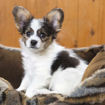 Papillon Puppy in bed on wooden background Stock Photo - 17984893