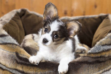 Papillon Puppy in bed on wooden background Stock Photo - 17984939